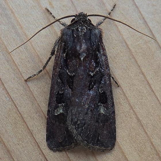 Noctuidae: Euxoa perexcellens - Euxoa perexcellens