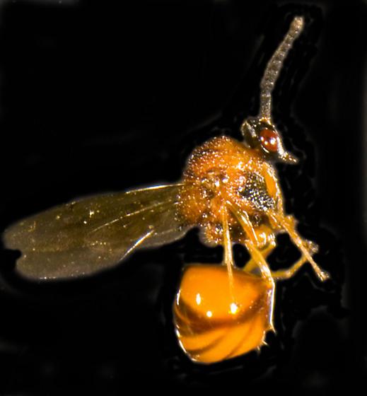 Gall wasp? - Obeza floridana