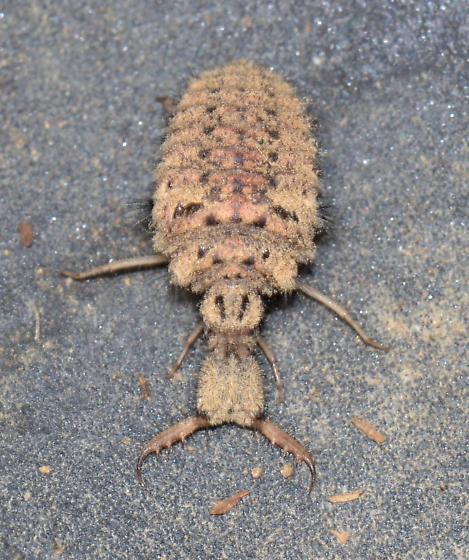 antlion larvae - Myrmeleon