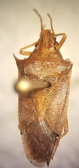 Hemipteran - Oebalus pugnax