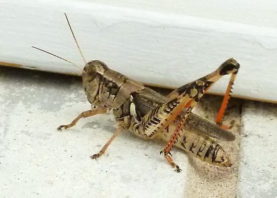 Banded grasshopper with red tibia and inner femora - Melanoplus ponderosus - female