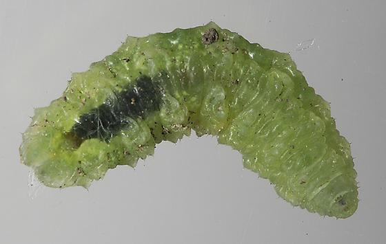 Syrphidae larva - Scaeva pyrastri