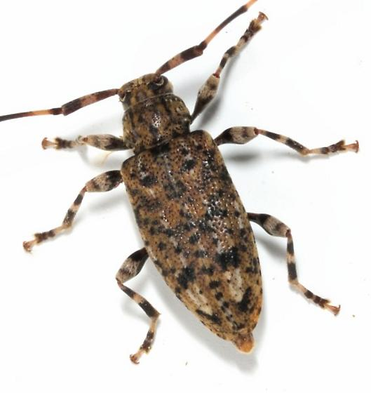 23may2012-col1 - Astyleiopus variegatus
