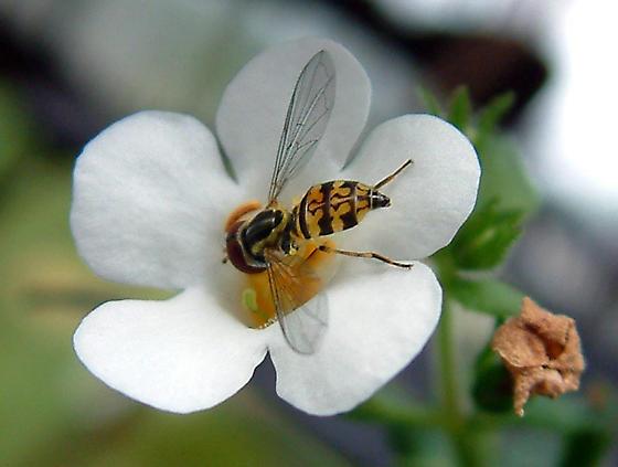 fly - Toxomerus geminatus