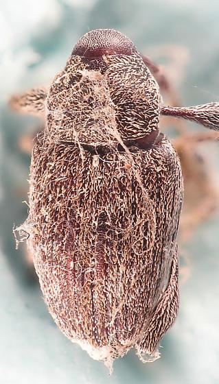 Spider's weevil - Curculio