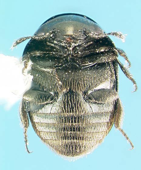 Nitidulid - Cybocephalus randalli