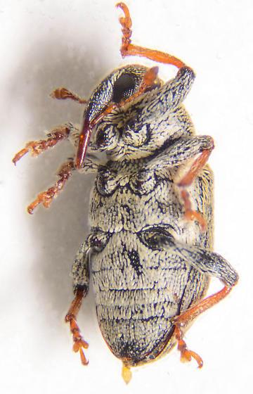 Tiny weevil.. - Tychius