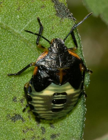 black, orange and yellow stink bug - Chinavia hilaris