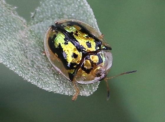 gold and green shiny beetle - Deloyala lecontii