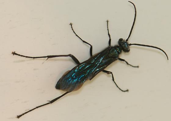 Blue Mud Dauber? - Chalybion californicum