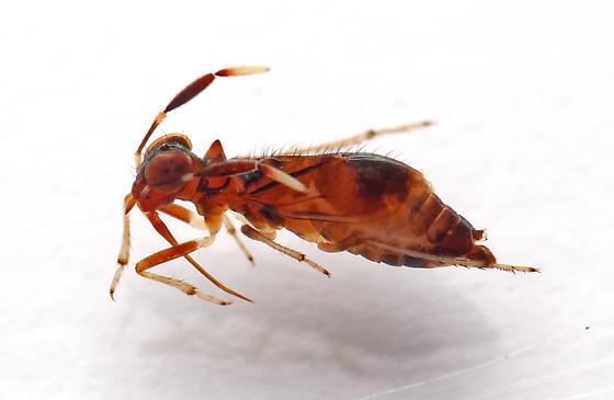 Saldoida slossonae - female