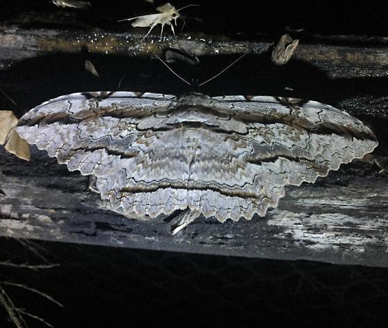 Thysania zenobia (Cramer) - Thysania zenobia