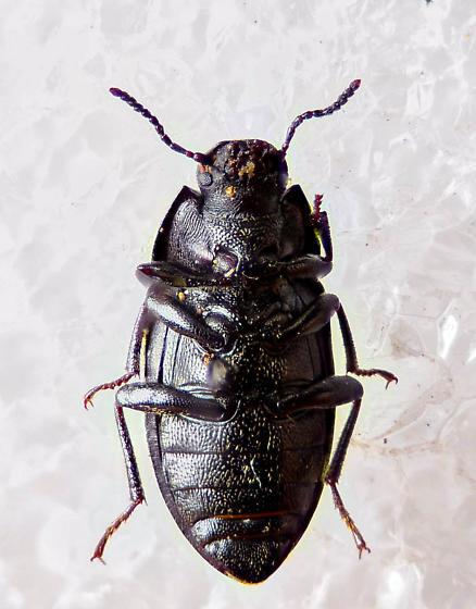Alphitobius? - Alaetrinus minimus
