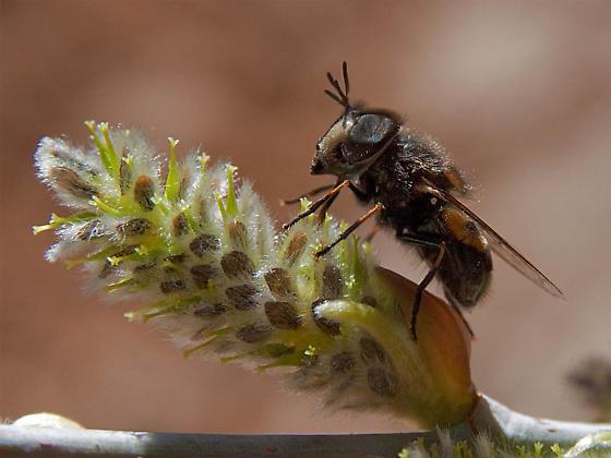 Syrphidae? - Copestylum