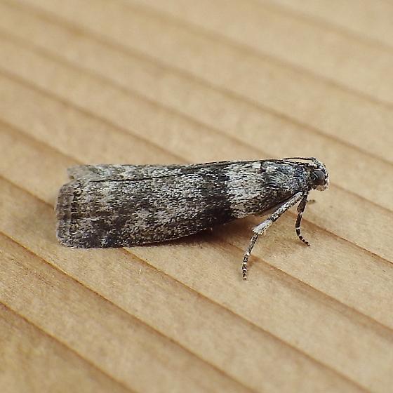 Pyralidae: Meroptera pravella? - Meroptera pravella