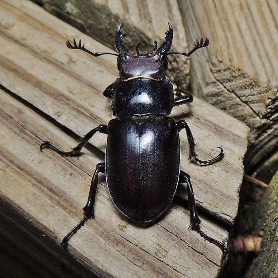 Large beetle - Lucanus placidus