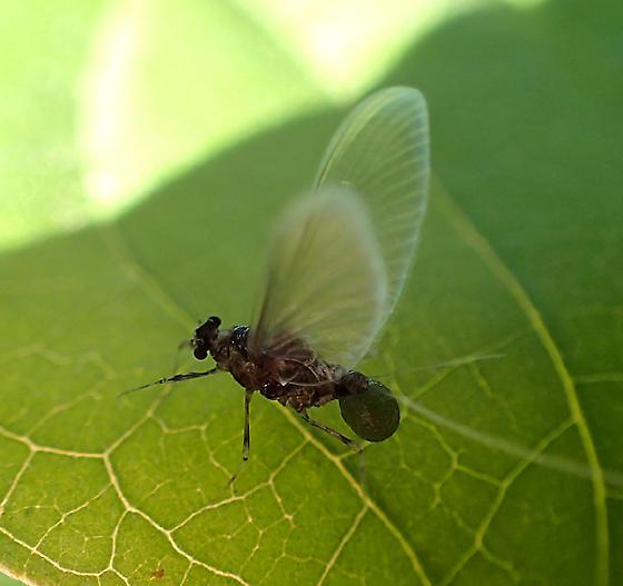 something strange going on ? - Tricorythodes