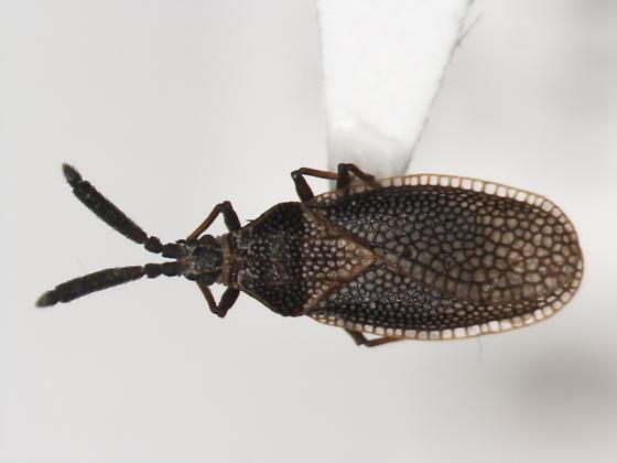 Unknown Lace bug - Alveotingis brevicornis