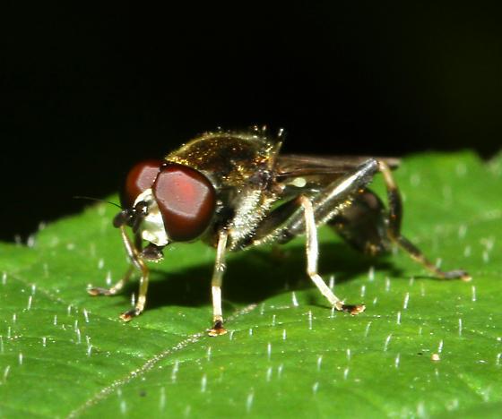 unidentified Asilidae - Xylota