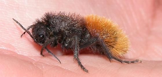 Dasymutilla magnifica - female