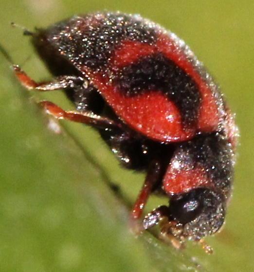 Rodolia cardinalis - Novius cardinalis