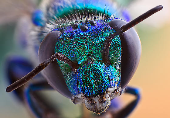 Iridescent Insect - Euglossa dilemma
