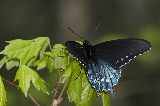 Pipevine Swallowtail - Battus philenor - male