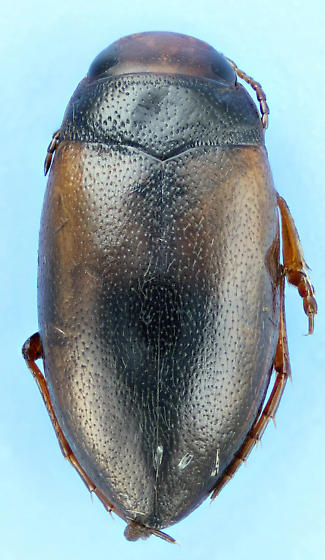Hydroporus badiellus