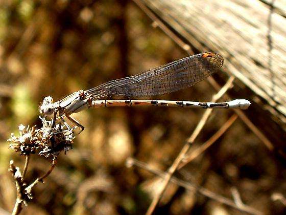 SD Coen - Argia agrioides - female
