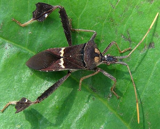 Leaf-footed bug - Leptoglossus zonatus