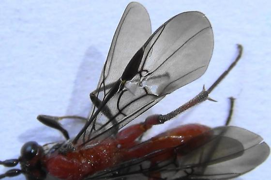 A Braconid Wasp (wings) - Zelomorpha arizonensis - female
