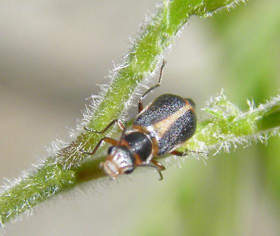 Attalus circumscriptus? - Attalus cinctus