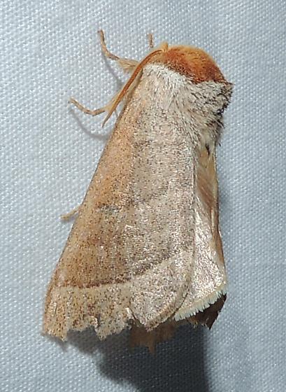 Datana integerrima - Walnut Caterpillar Moth - Datana cochise
