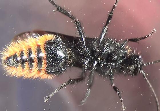 Hairy Velvet Ant Punctated Surfaces - Dasymutilla arenivaga - male