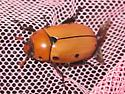 Big beetle - Pelidnota punctata