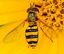 Eupeodes americanus? syrphid fly - Eupeodes