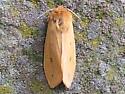 golden brown moth with faint dark forewing spots - Pyrrharctia isabella