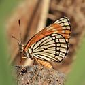 Fulvia Checkerspot - Chlosyne fulvia - female