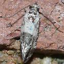Moth 09.06.11 - Rudenia leguminana