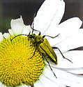 Beetle on daisy - Lepturobosca chrysocoma