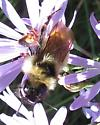 what kind of Bombus? - Bombus fernaldae