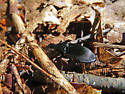 Notched-mouth Ground Beetle - Dicaelus politus