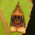 moth - Platynota flavedana