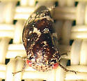 Marbled Treehopper - Ophiderma