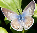 Light Brown Butterfly with Blue - Leptotes marina - female
