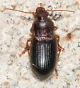 Ground beetle - Ophonus puncticeps