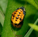 Seven-spotted Lady Beetle ?