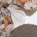 Violet Brocade - Oligia violacea