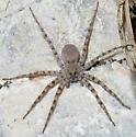 Hogna carolinensis? - female
