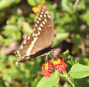 Unknown Butterfly - Papilio palamedes